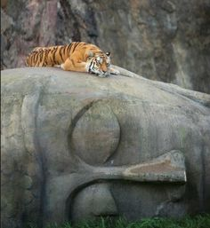 Tiger on Buddha's head uploaded by Sylvia A Clarke