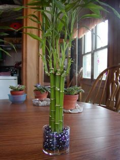 Lucky Bamboo (Dracaena sanderiana) is actually a member of the Dracaena family, and is not really bamboo at all. The kind of bamboo peopl. Bamboo House Plant, Lucky Bamboo Plants, House Plant Care, Indoor Tree Plants, Best Indoor Trees, Bamboo Care, Bamboo Room Divider, Bamboo Crafts, Modern Design