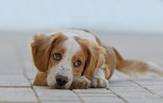 """doglight:  This is what we call """"puppy eyes"""" :). A very expressive Breton dog. The guy was pretty young, less than 1 years old."""