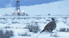 September 30, 2015, is the court-ordered deadline for the U.S. Fish and Wildlife Service to make a final decision about whether to list the Greater Sage-Grouse under the Endangered Species Act.  At stake is perhaps the broadest application (in geographical terms) of the ESA ever. Listing the Great