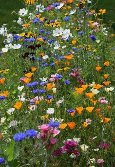 Sowing hardy annuals in late summer and early autumn