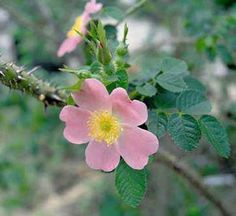The original Sweet Briar rose - I love the apple scented leaves that hover in the garden at dusk.