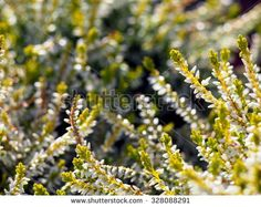 Heather background - yellow and white Erica carnea - stock photo