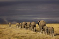 AFRICAN ELEPHANTS - Piper Mackay Photography