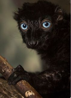 A blue eyed black lemur is the only primate to have blue Eyes besides humans.
