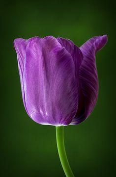Single Late Tulip ~ Blue Aimable