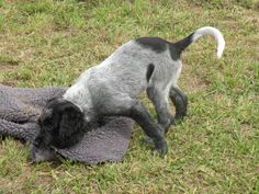BLUE PICARDY SPANIEL Spaniels, Dogs, Blue, Animals, Animaux, Doggies, Animales, Animal, Pet Dogs