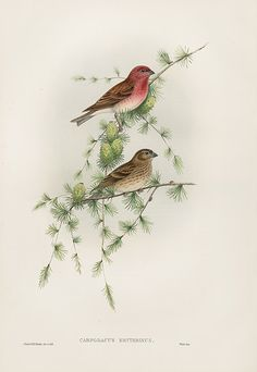 Carpodacus Erythrinus Rosefinch no text USD $395 Gould Song Birds & Perching Birds 1862
