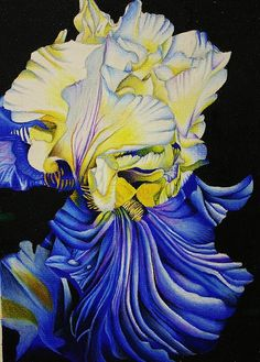 Color pencil drawing of an iris - beautiful color shading!