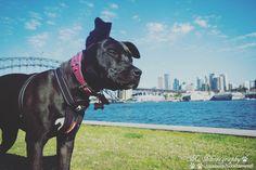 #sydney #sydneyoperahouse #sydneyharbourbridge #australia #sunny #harbour #water #boost #staffy #dog #instadog #staffygram #instapet #puppy #proud #americanstaffy #lovedogs #photooftheday by boost_the_american_staffy http://ift.tt/1NRMbNv
