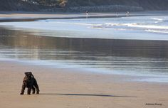 un bañito en la playa  #Miniature #Schnauzer