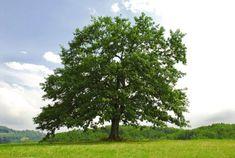 (WOT-03-004) - Sinds 2004 levert het CGN een bijdrage aan de opbouw van de door Staatsbosbeheer (SBB) beheerde genenbank voor bomen en struiken. In het nieuwe WOT GB programma is de ondersteuning van het CGN gericht op het opvullen van gaten in de diversiteit binnen de reeds opgenomen soorten en op de opname van nog niet eerder in de genenbank bewaarde soorten, door middel van gerichte identificatie van belangrijke herkomsten en opstanden in Nederland. Bijvoorbeeld vindt onderhoud en…