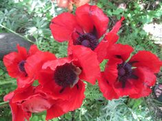 Can't get enough of those Papaver Poppies.  (Prospect Valley Hospitality renovated historic 1872 property, Wheat Ridge, Colorado, USA)