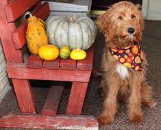 It's a pumpkin paw-ty! A Pumpkin, Lily, Explore, Dogs, Photography, Photograph, Pet Dogs, Fotografie, Orchids
