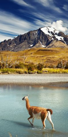 Guanaco crossing the river in Torres del Paine National Park, Patagonia, Chile Poster Parc National Torres Del Paine, Lonly Planet, Argentine Buenos Aires, Places To Travel, Places To See, Ushuaia, Photos Voyages, South America Travel, Belle Photo