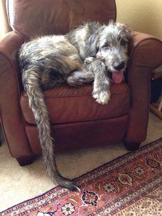 Irish Wolfhound - 7 mo...