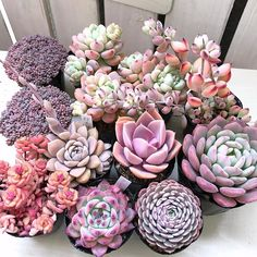 Here you can see some of the worlds most stunning purple succulents around. Explore all the different types of purple succulents out there! Suculentas Interior, Suculentas Diy, Cactus Y Suculentas, Succulent Gardening, Succulent Terrarium, Planting Succulents, Planting Flowers, Succulent Plants, Growing Succulents