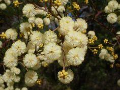 Sunshine wattle blossom