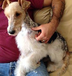 My Fox Terrier. Our Bailey is a  dappled boy as well.
