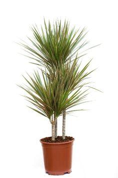 Dracena de Madagascar (Dracaena marginata): tropical e resistente, essa planta apresenta variedades no tamanho e largura de suas folhas. A arbustiva pode ser cultivada em interiores, mas demanda boa iluminação e vasos grandes.  Fotografia: Getty Images.