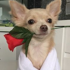14 Signs You Are A Crazy Chihuahua Person Chihuahua Puppies For Sale, Baby Chihuahua, Pictures Of Chihuahuas, Rat Dog, I Want To Cuddle, Love Pictures, Beautiful Soul, Four Legged, Cute Dogs