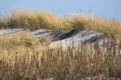 Strandhafer in #Großenbrode