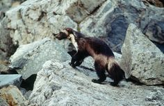This undated photo provided by Defenders Of Wildlife shows a wolverine that had been tagged for research purposes in Glacier National Park, Mont. Federal officials will announce Tuesday, Aug. 12, 2014 that wolverines do not warrant protection under the Endangered Species Act in a finding that underscores the difficulties of using climate models to predict what could happen to a species decades from now.