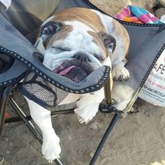 """❤ """"Human chairs - you just have to work yourself into them to get comfy"""" ❤ Posted from I love English Bulldogs"""