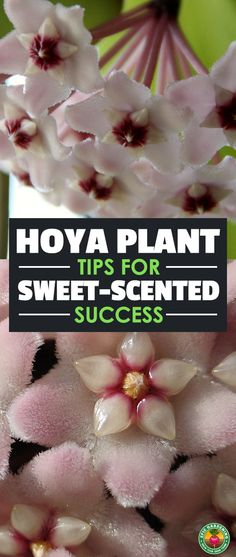 The hoya plant produces a sweet aroma and large clusters of star-shaped flowers. It's easy to care for with the tips we provide in this complete growing guide!