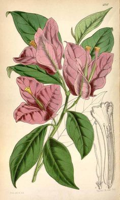 814 Bougainvillea spectabilis Willd. / Curtis's Botanical Magazine, vol. 80 [ser. 3, vol. 10]: t. 4810 (1854) [W.H. Fitch]