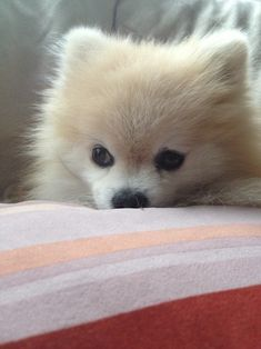Tommy the Pomeranian!