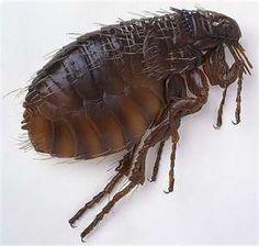 Homestead Survival: Natural Flea Remedies