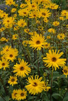 Helianthus by Avondale Nursery, via Flickr