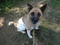 Amazing Grace is an adoptable Akita Dog in Peachtree City, GA. Grace is an amazing lady. She was living in the woods with her young puppy, scared and defensive. We had to use a trap to trap them. She ...