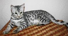 TOP 35 Bengal kittens (4)