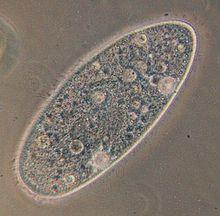 Célula Eucarionte Protista