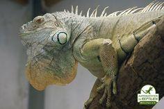 Grüne Leguane können mitsamt ihrem Schwanz bis zu 2 Meter lang werden. Beim Bau eines Terrariums sollte das unbedingt beachtet werden.