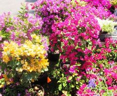 I love the yellow-orangey - Fairchild Garden Plant Sale