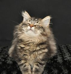 Aug 2019 - Forest*Star Siberians - Happy Healthy Kittens with Champion Bloodlines - Our Cats Cute Cats And Kittens, Cool Cats, Kittens Cutest, Funny Kittens, White Kittens, Black Cats, Pretty Cats, Beautiful Cats, Animals Beautiful