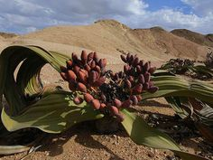 "Welwitschia can be found only in Namib Desert in Namibia and Angola and sometimes are called ""Living Fossil"" because they exists on the..."