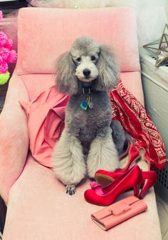 "#Poodle #grey #poodles ""My dog is the love of my life and is smarter than I am. He is always happy and a bit naughty. He just marked the beautiful Céline he is posing on!"""