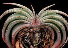 Aloe suprafoliata exotic cacti xeriscaping succulent rare cactus seed 10 SEEDS in Plants | eBay