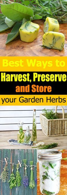 Don't let those extra herbs go to waste. Here are easy and best ways to HARVEST, preserve, and store herbs.