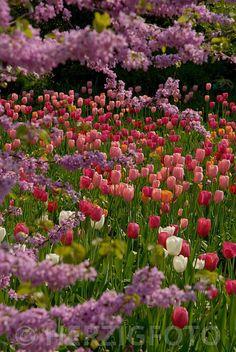 Tulpenblüte im Hermannshof