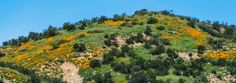 . Wildflowers cover the hillside along Santiago Canyon Road near Silverado Canyon on Saturday, February 25, 2017. (Photo by Mark Rightmire, Orange County Register/SCNG)