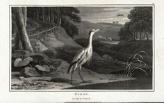 Heron, Adrea major.
