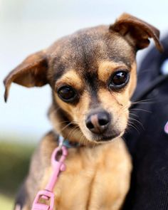 Gillingham is an adoptable Chihuahua searching for a forever family near San Diego, CA. Use Petfinder to find adoptable pets in your area.