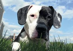 LILY (PIT BULL) from CRANBERRY TOWNSHIP, PA. COLOR CALLS Dog fanciers use…