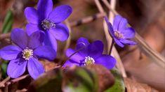 Mikä on Suomen kansalliskoira? Flora, Plants, Plant, Planets