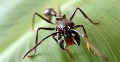 A ciência das formigas: Formiga tucandeira - Esta é a formiga mais perigosa existente no Brasil.